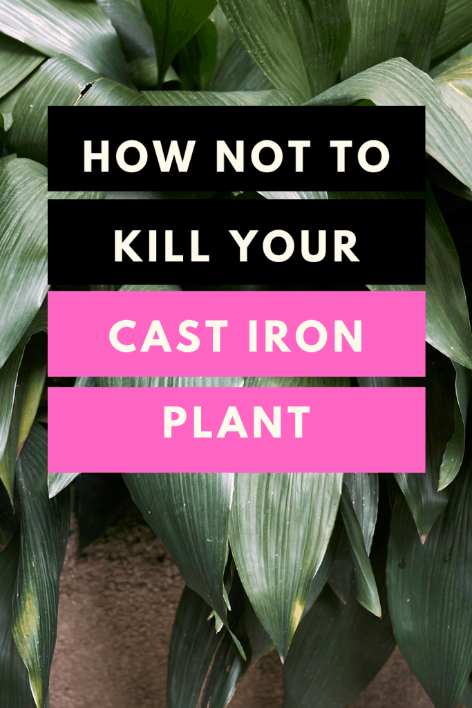 How Not To Kill Your Cast Iron Plant