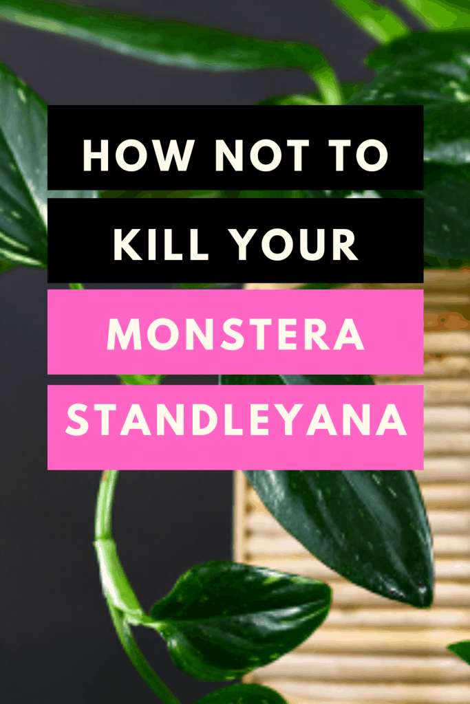 How Not To Kill Your Monstera Standleyana