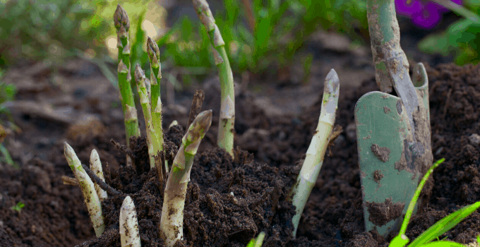 How to Grow Asparagus from Start to Finish