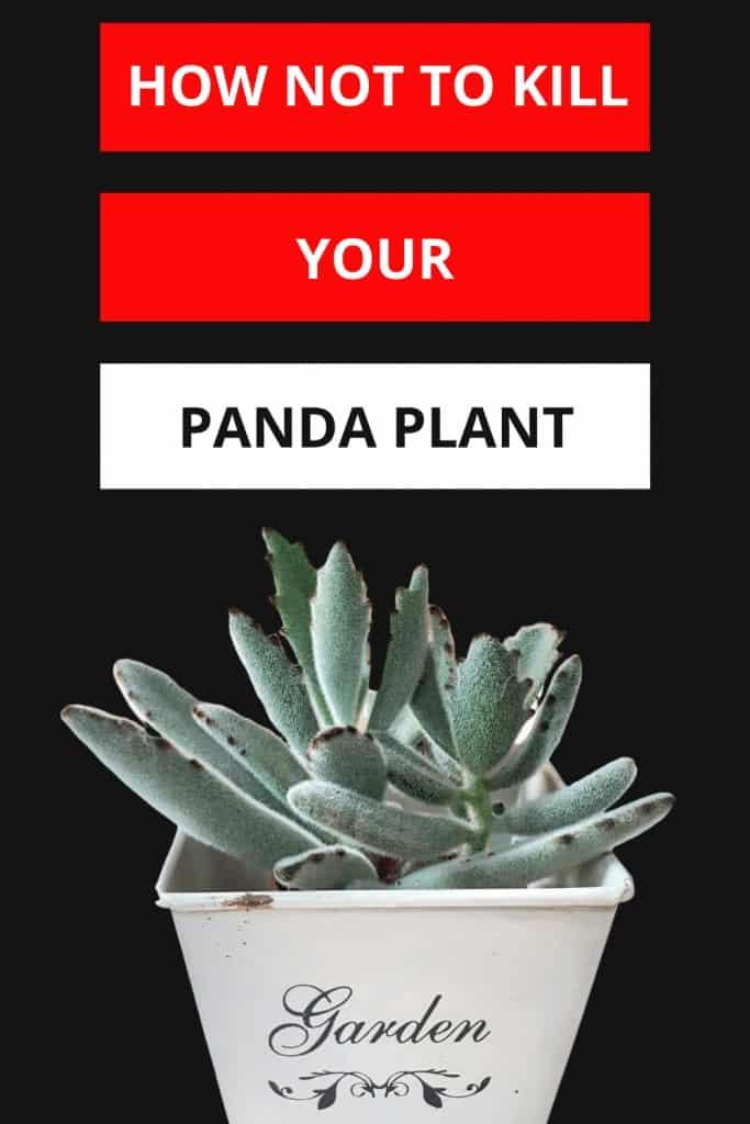 Kalanchoe tomentosa aka Panda Plant Care