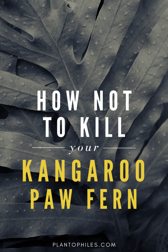 How Not To Kill Your Kangaroo Paw Fern
