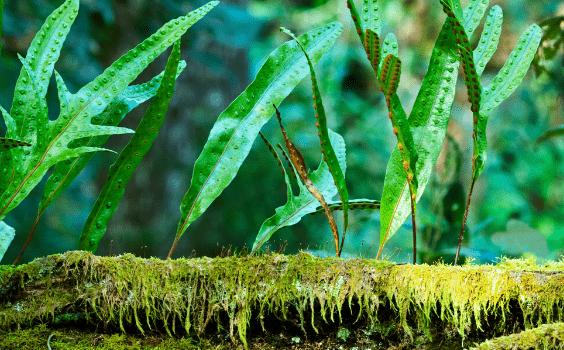 Kangaroo Paw Fern Microsorum diversifolium Care