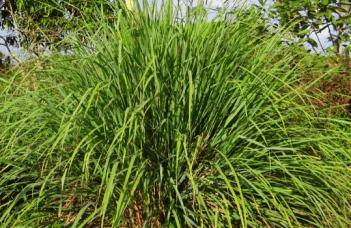 Lemongrass Cymbopogon Plant Care