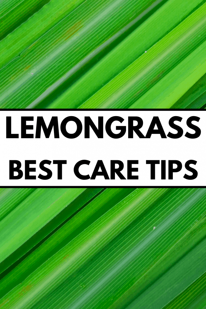 Lemongrass Best Care Tips