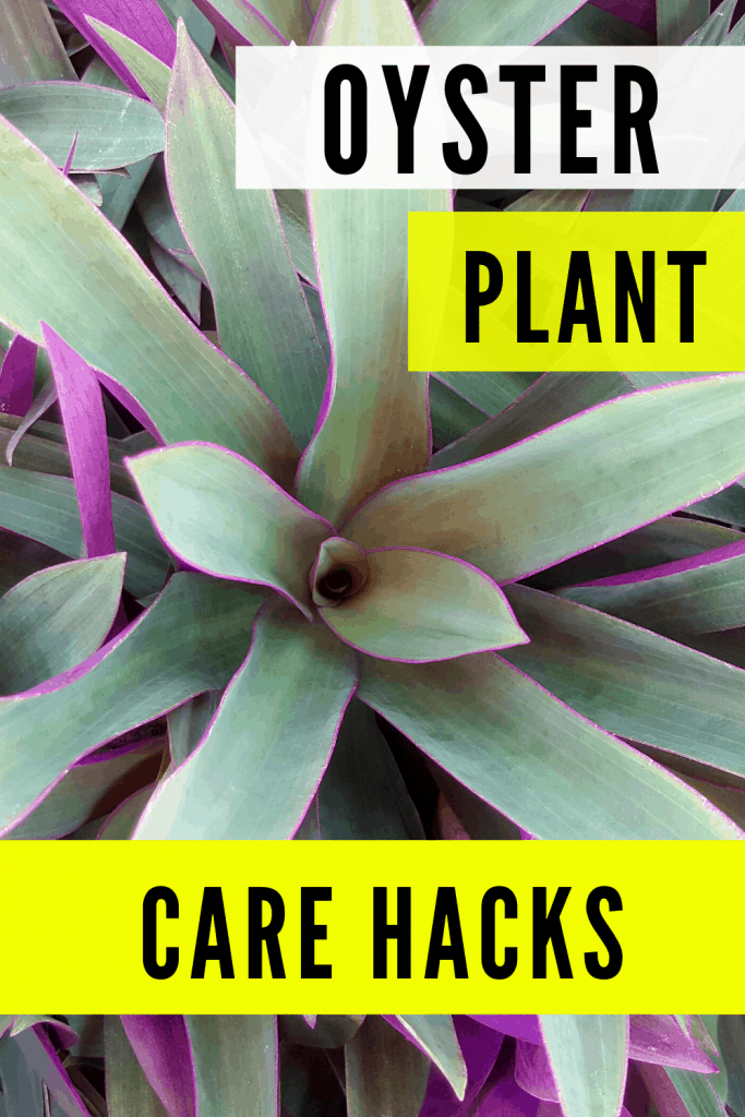 Oyster Plant Care Hacks