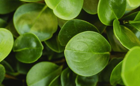Peperomia obtusifolia Care