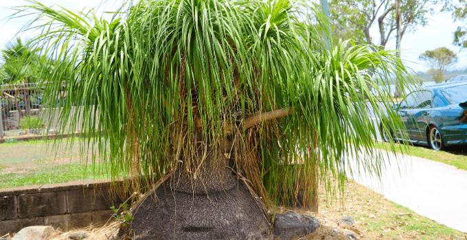 Ponytail Palm (Elephant's Foot)