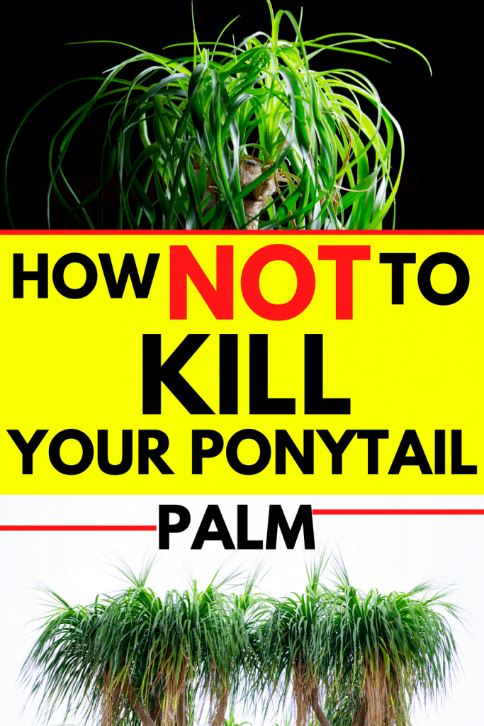 How Not To Kill Your Ponytail Palm