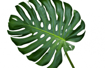 Propagating Monstera Without Node - The truth revealed