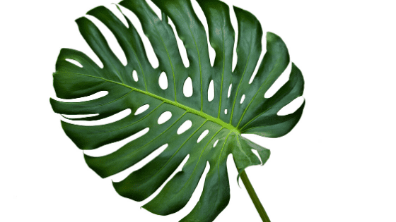 Propagating Monstera Without Node – The Truth