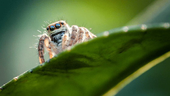 Tetranychus Urticae - Red Spider Mites