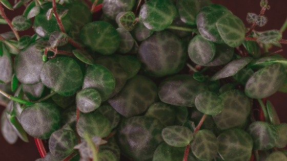 Peperomia Prostrata String of Turtles Care and its unique patterned leaves