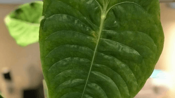 Anthurium Veitchii with ruffled leaf