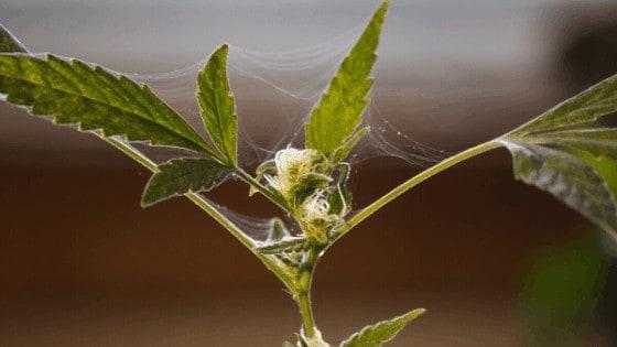 Spider Mite webbings