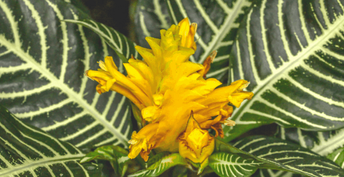 North-Facing Windows Plant: Aphelandra Squarrosa