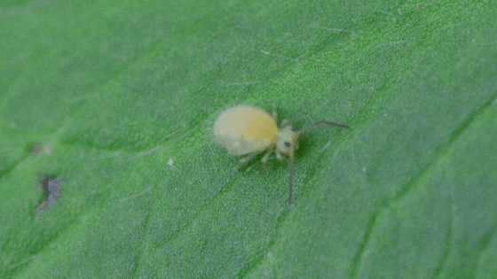 Springtails are small hexapods and not insects