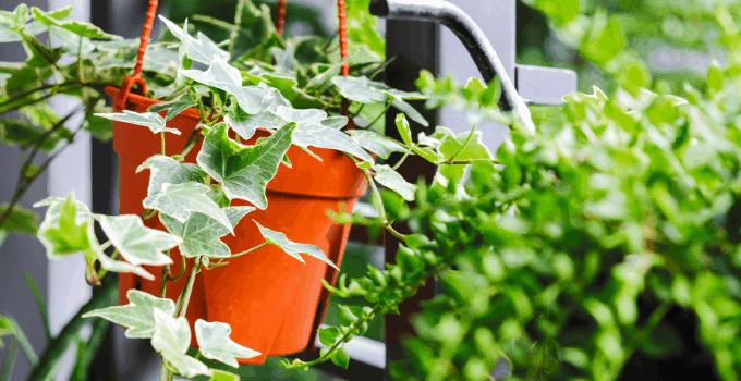 Hanging Basket Plants Low Light English Ivy
