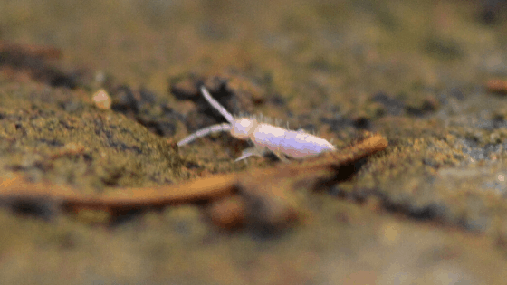 Springtail closeup