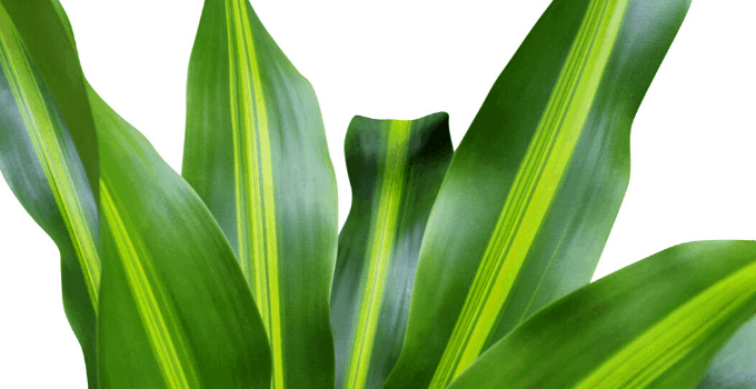 North-Facing Window Plants: Dracaena fragrans