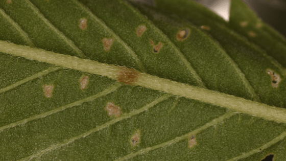 Spider mites are hard to spot