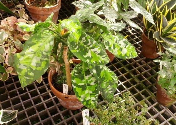 Aglaonema Pictum Tricolor Care