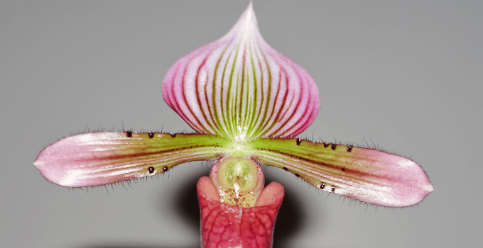 North-Facing Windows Plant: Lady's Slipper Orchid