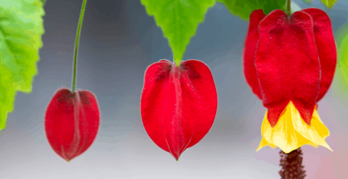Acid-loving Houseplants: Abutilon