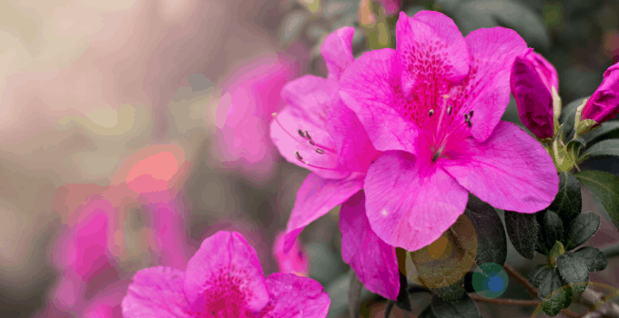 Acid-loving Houseplants: Azalea