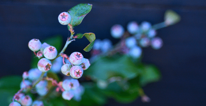 Acid-loving Houseplants: Blueberry plant