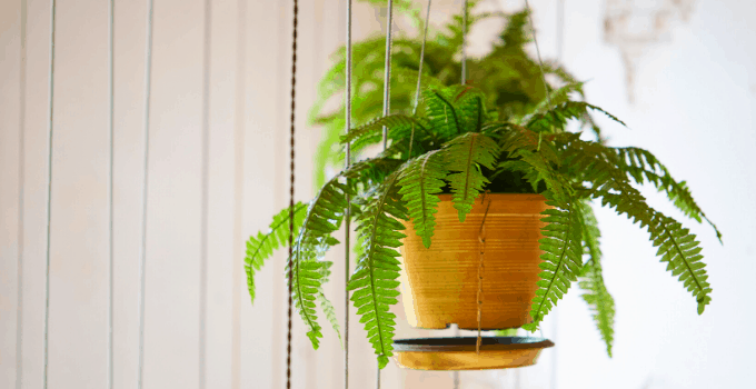 Acid-loving Houseplants: Boston Fern