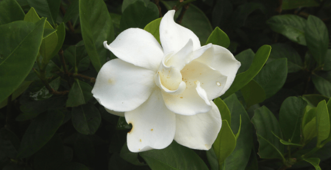 Acid-loving Houseplants: Gardenia