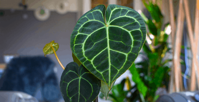 Anthurium Clarinervium #1 Best Care Guide