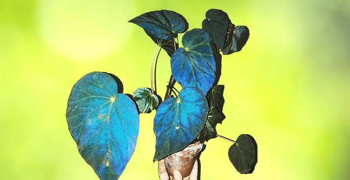 Begonia Pavonina Plant Care