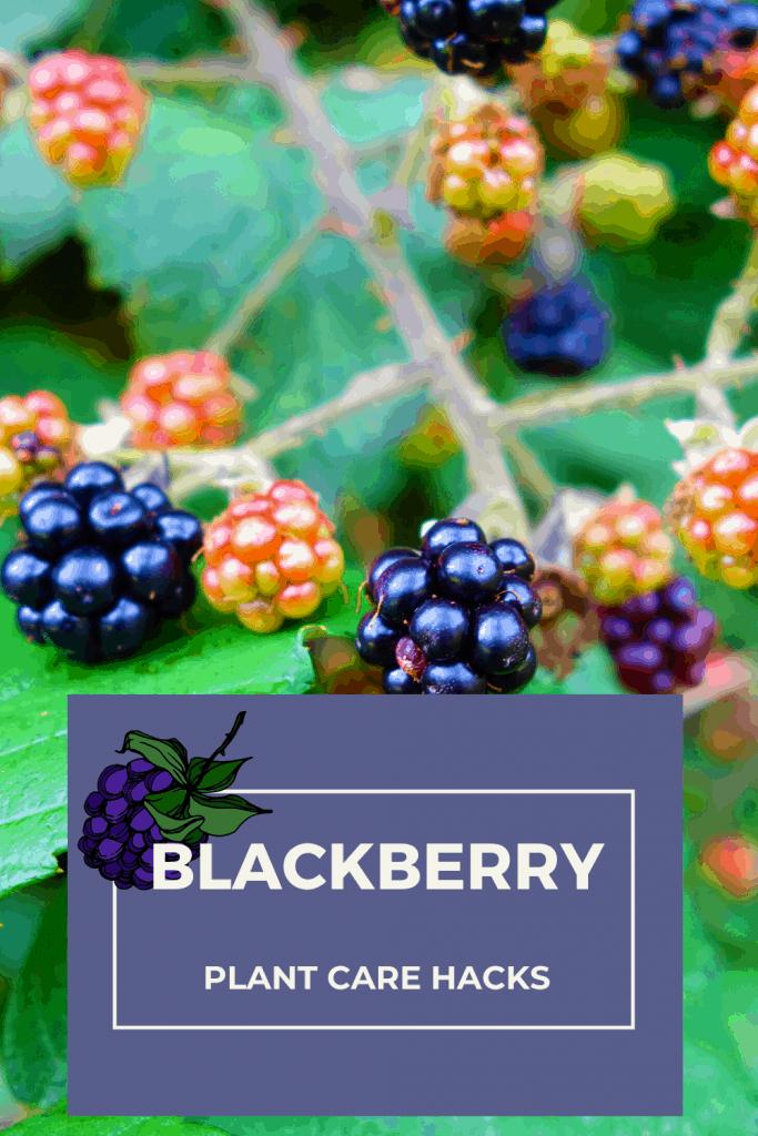 BlackBerry Plant Care Hacks