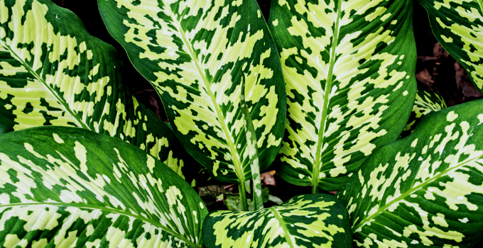 Dieffenbachia can survive without drainage holes