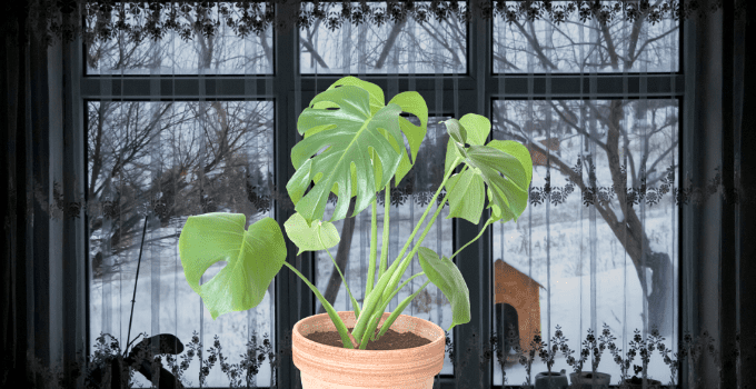 How Cold is Too Cold For Houseplants