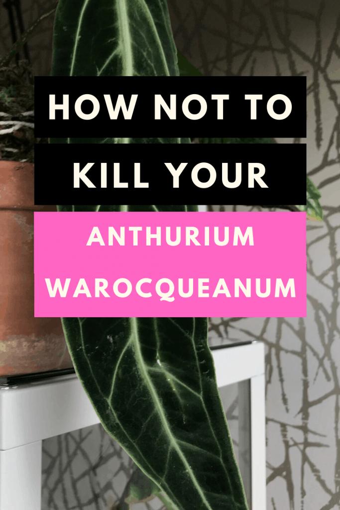 How NOT to kill your Anturium Warocqueanum