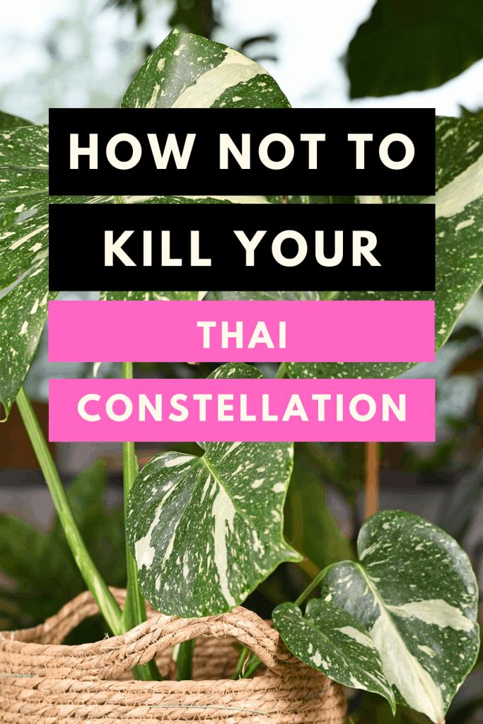 Monstera Thai Constellation Care