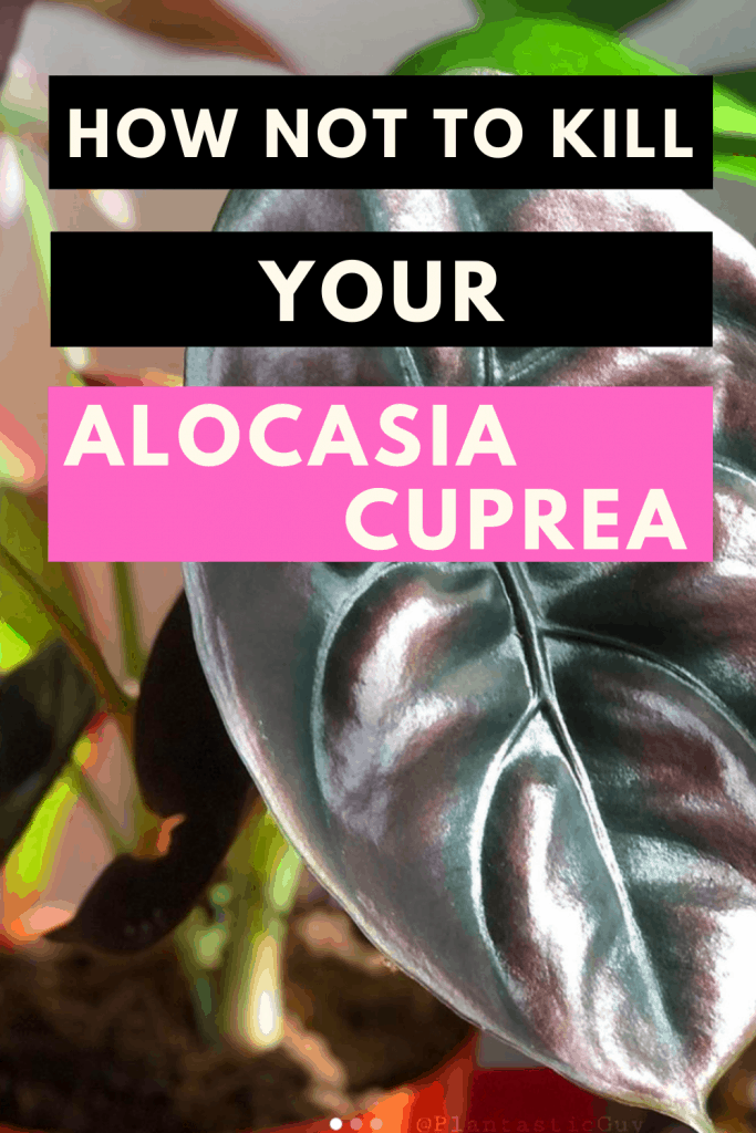 How Not To Kill Your Alocasia Cuprea New