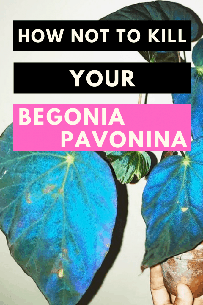 How Not To Kill Your Begonia Pavonina