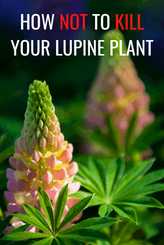 How Not To Kill Your Lupine Plant