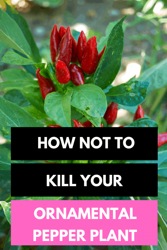 How Not To Kill Your Ornamental Pepper Plant