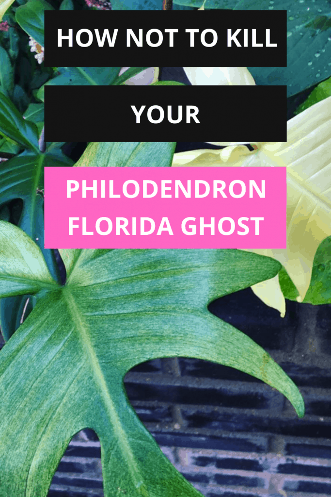 Philodendron Florida Ghost #1 Care Guide 1