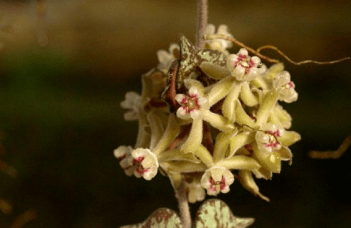 Hoya Curtisii Care - Killer Tips 3
