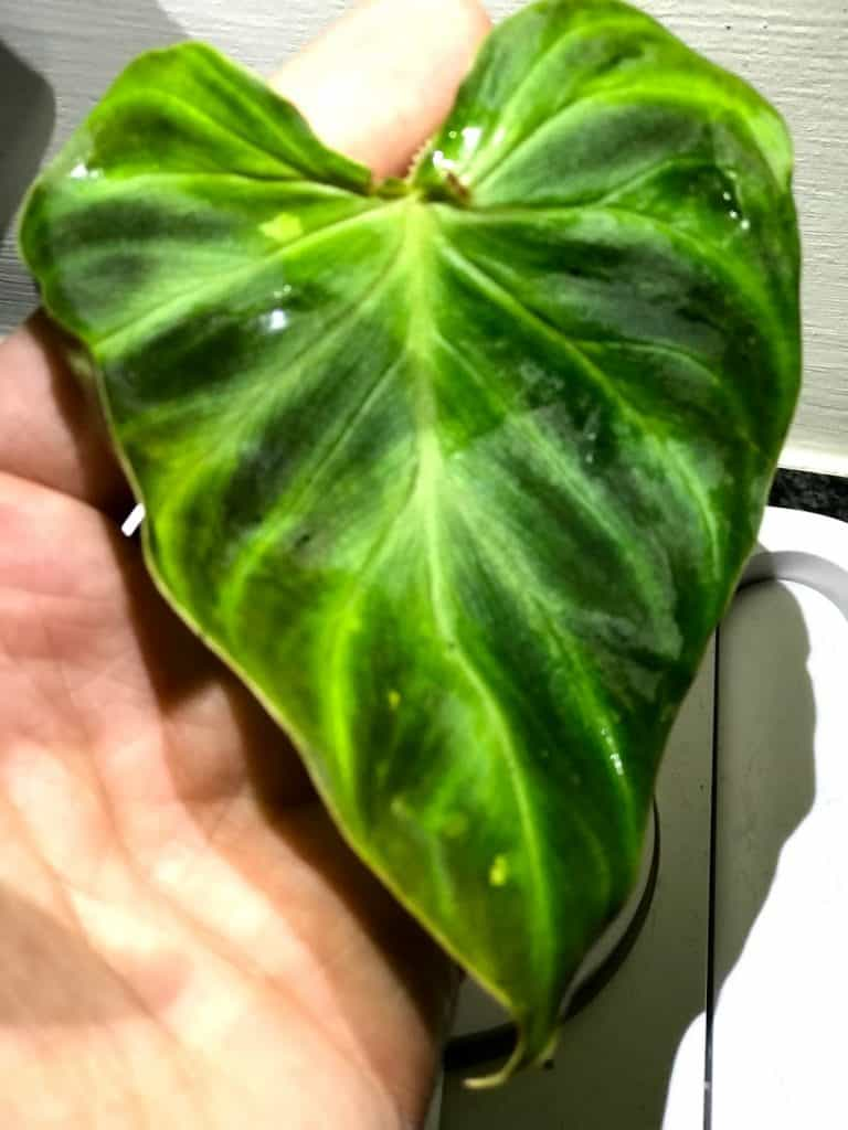 Healthy Philodendron Verrucosum leaf with radiant markings