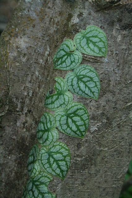 Monstera Dubia with great leaf pattern only found in Costa Rica