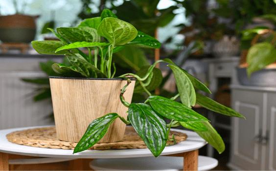 Monstera Karstenianum Plant Care