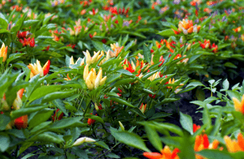 Ornamental Pepper Plant (Capsicum annuum) Plant Care