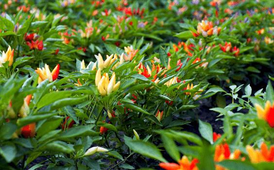 Ornamental Pepper Plant (Capsicum annuum) Plant Care