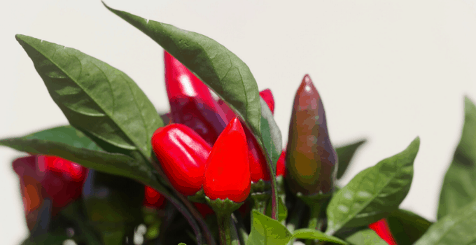Ornamental Pepper Plant Edible Fruits